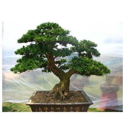 雀舌羅漢松盆景樹樁花卉盆景室內盆栽庭院綠植花卉盆栽創意造型樹