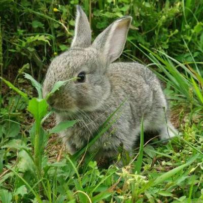 马特维(matewei)宠物活体 兔子宠物公主兔侏儒熊猫小白兔