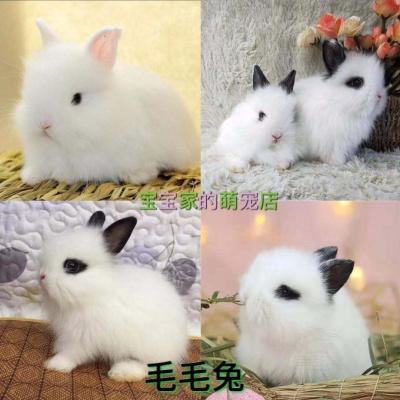 小兔子侏儒兔迷你长不大小型公主熊猫垂耳小白兔小型宠物兔 毛毛兔随机发 只