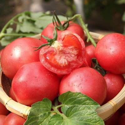 【靚果匯】四川攀枝花露天番茄5斤裝 新鮮現摘 健康營養