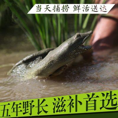 寵弗 甲魚生鮮活中華老鱉海鮮滋補品生態團水魚水產品批發