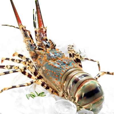 四海生鮮 青龍蝦澳洲青龍蝦自然野生海捕承諾非養殖 新鮮海鮮水產 500g