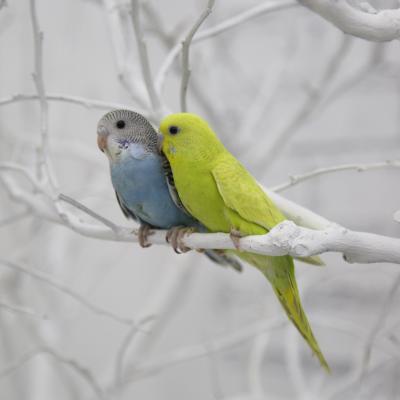 鸟鹦鹉活宠物鸟体虎皮化情侣鹦鹉云斑鹦鹉鸟玄凤说话鸟 蓝皮+黄皮(包教说话)