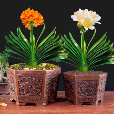君子蘭盆栽花卉圓頭和尚四季濃香辦公室內綠植當年開花君子蘭苗