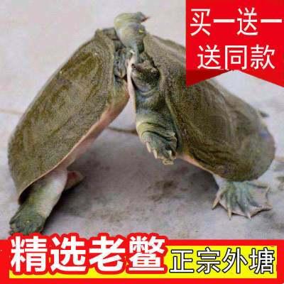 寵弗 滋補甲魚苗水魚團魚海鮮生鮮活水產散養中華鱉批發