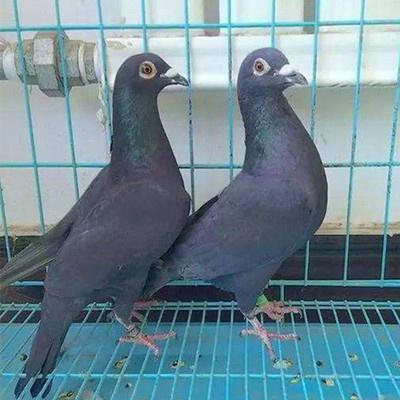 活一對肉鴿白信鴿種鴿觀賞鴿白羽王麒麟花淑女鳳尾小鴿 黑色成年信鴿一對