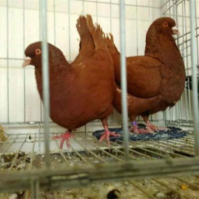 元宝鸽子一对观赏鸽青年鸽公斤肉鸽元宝种鸽成年二斤左右 精品红元宝青年一对
