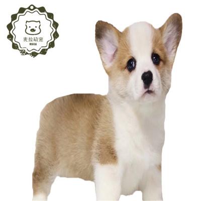 威爾士柯基犬幼犬  豆樂奇寵物狗狗 雙色柯基三色柯基中小型寵物狗狗  純種柯基幼犬威爾士小型犬家養寵物狗