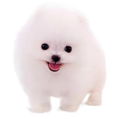 優寵它 純種博美犬幼犬出售 活體博美狗幼犬 茶杯犬 雙血統長不大球體狗狗 家養健康寵物 小型犬 售后保障