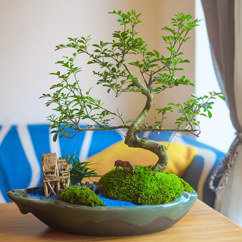 对节白蜡盆景植物盆栽室内四季常青树桩飘枝造型对接老桩熟桩绿植图片