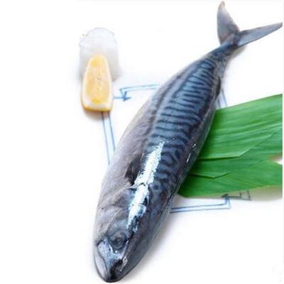 四海生鲜 东山岛野生鲅鱼马鲛鱼(1只1000g左右)活冻鲅鱼马胶鱼新鲜活冻海鲜水产