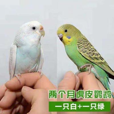 鸟鹦鹉活宠物鸟体虎皮化情侣鹦鹉棕头云斑鹦鹉鸟粮玄凤 包说话绿皮+白皮一对(送鸟粮)