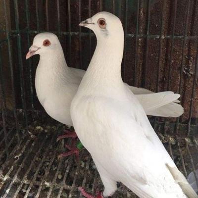 活一對肉鴿白信鴿種鴿觀賞鴿白羽王麒麟花淑女鳳尾小鴿 白色成年信鴿一對
