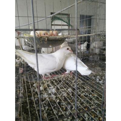 马特维(matewei)宠物鸽子活体一对白羽王乳鸽赛鸽观赏鸽子白鸽信鸽种鸽青年鸽。如果需要其它款式的鸽子请联系客服!
