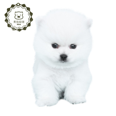 博美幼犬纯种公俊介犬球体哈多利宠物狗上海犬舍茶杯小型泰迪博美