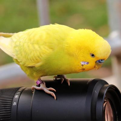 马特维(matewei)宠物活体虎皮鹦鹉宠物手养小鸟玄凤鹦鹉说话鸟黄色虎皮1只