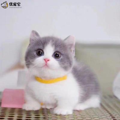優寵它英短貓活物 藍白貓咪活體 純種英國短毛小貓幼崽 曼基康矮腳貓 血統級五粉正八臉寵物貓 矮腳藍白